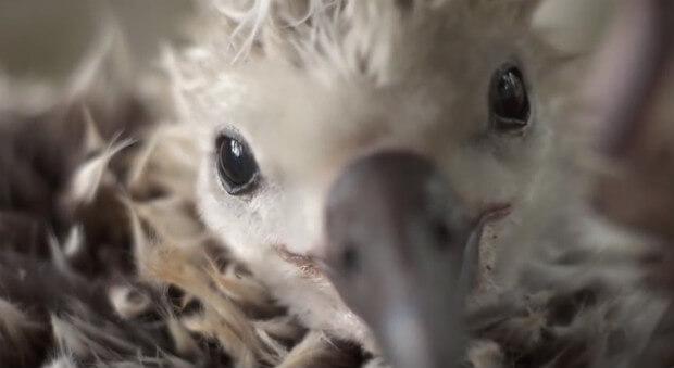 anak burung albatros