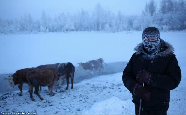 ternak sapi oymyakon di tengah-salju